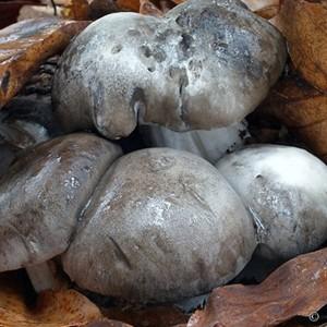 funghi dormiglioni