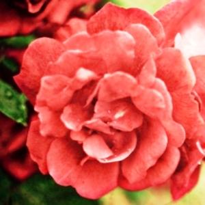 vicopisano castello in fiore