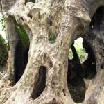 olivone fibbianello