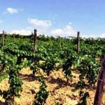 strada vino montecucco