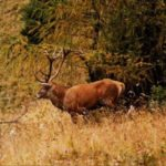 Sambuca Pistoiese (PT) - Riserva dell' Acquerino - cervo