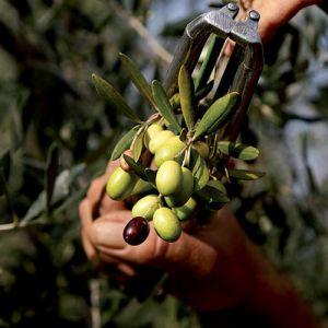 olive del Montalbano