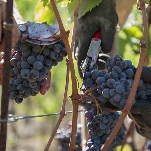 grappoli vino Montalbano DOCG