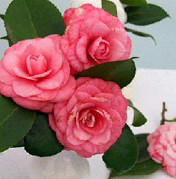 Flower Exhibition Antique Camellias | Lucca